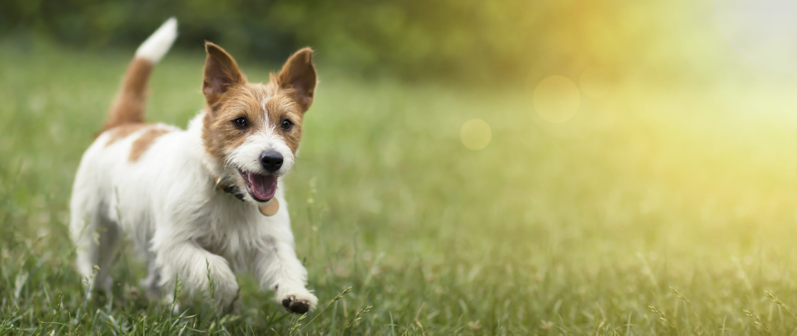 Pet custody concept. Happy pet dog puppy running in the grass in summer.